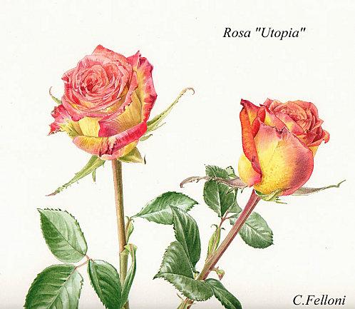 Rosa-utopia1