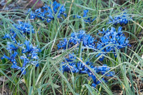 IrisReticulata